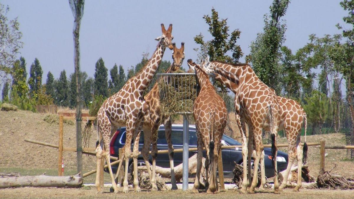 zoo-safari-ravenna-giraffe